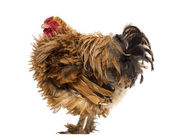 Side view of a Crossbreed rooster, Pekin and Wyandotte, against white background — Stock Photo