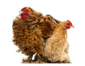 Crossbreed rooster, Pekin and Wyandotte, standing next to a Pekin bantam hen lying against white background — Stock Photo