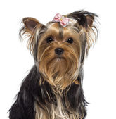 Yorkshire Terrier, 3 years old, looking at camera against white background — Stock Photo