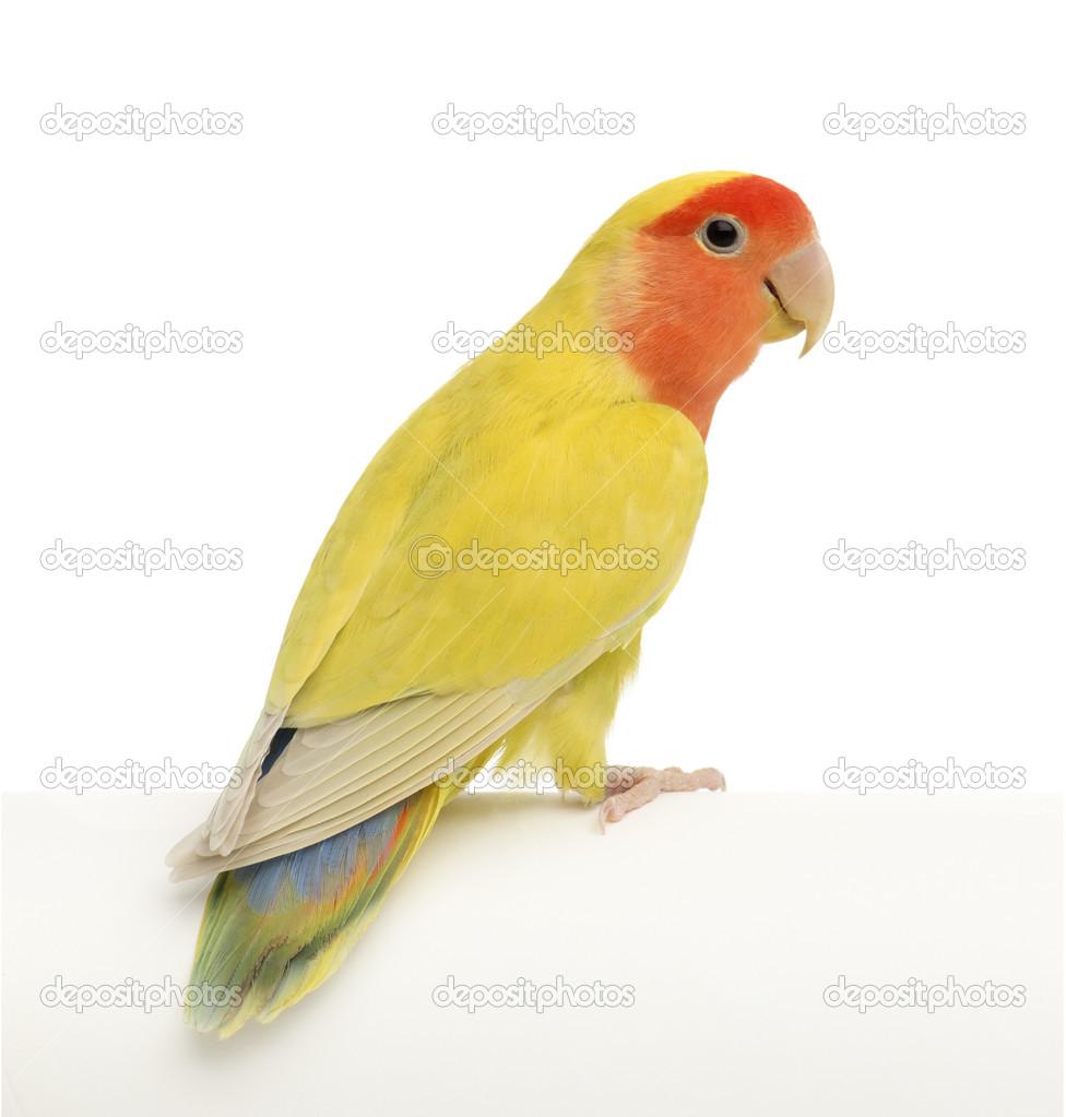 Rosy-faced Lovebird  A...