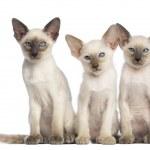 三个东方短毛小猫坐,看着相机白色背景 — 图库照片