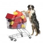 Australský ovčák tlačí nákupní vozík plný dárků proti Bílému pozadí — Stock fotografie