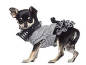 Chihuahua, 3 years old, dressed and looking at camera against white background — Stok fotoğraf