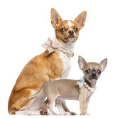 Two Chihuahua puppies, 4 and 7 months old, sitting and wearing collars, pearl and lace, looking away against white background — Stock Photo