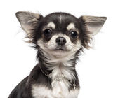 Close-up of Chihuahua looking at camera against white background — Stok fotoğraf