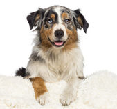 Australian Shepherd, 3 years old, looking at camera against white background — Stock Photo