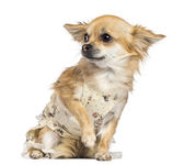 Fearful Chihuahua, 1 year old, dressed, sitting and looking away against white background — Stock Photo