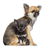 Chihuahua puppies, 9 months old and 7 weeks old, sitting looking away and looking at camera against white background — Stock Photo