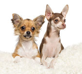 Chihuahua puppies, 4 months old and 5 months old, lying on white fur against white background — Stock Photo