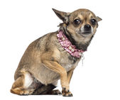 Fearful Chihuahua, 3 years old, sitting and wearing pink collar against white background — Stock Photo