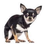 Fearful Chihuahua, 1.5 years old, sitting and looking at camera against white background — Stock Photo