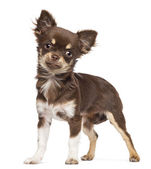 Chihuahua looking at camera against white background — Stok fotoğraf