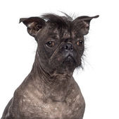 Hairless dog, mix between French bulldog and Chinese Crested Dog, against white background — Stock Photo