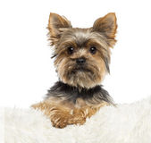 Yorkshire Terrier, 3 years old, lying on white fur against white background — Stock Photo