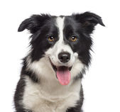 Close-up of Border Collie, 1.5 years old, looking at camera against white background — Stock Photo
