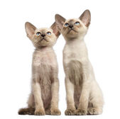 Two Oriental Shorthair kittens, 9 weeks old, sitting and looking up against white background — Stock Photo
