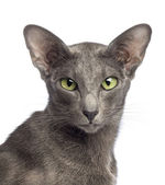Close-up of an Oriental Shorthair looking at camera against white background — Stock Photo