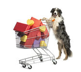 Australian Shepherd pushing a shopping cart full of presents against white background — Stock Photo