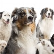 Close up of a Australian Shepherd with dogs in the background sitting against white background — Stock Photo #21568241