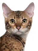 Close-up of Bengal cat, 7 months old, in front of white background — Stock Photo