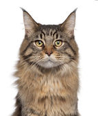 Close-up of Maine Coon cat, 7 months old, in front of white background — Stock Photo