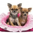 Stock Photo: Chihuahuas sitting in pink dog bed against white background