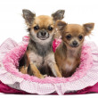 Chihuahuas sitting in pink dog bed against white background — Stock Photo #21571179