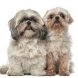 Old Shih Tzu, 14.5 years old, and Shih Tzu, 4.5 years old, sitting and looking at camera against white background - Stock Photo