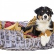 Australian Shepherd, 3 months old, lying in dog bed against white background - Stock Photo