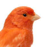 Close up of a Red canary, Serinus canaria, against white background — Stock Photo