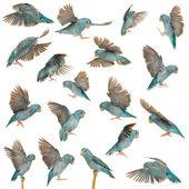Composizione del pacifico pappagallino, forpus coelestis, volando su sfondo bianco — Foto Stock