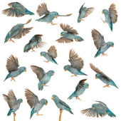 Skład pacific parrotlet, forpus coelestis, latający na białym tle — Zdjęcie stockowe