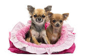 Chihuahuas sitting in pink dog bed against white background — Stock Photo
