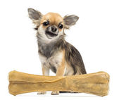 Chihuahua sitting behind knuckle bone against white background — Stock Photo