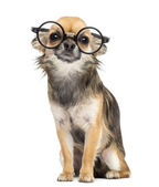Chihuahua wearing round glasses ,sitting and looking at camera against white background — Stock Photo