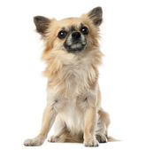 Chihuahua, 1.5 years old, sitting and looking at camera against white background — Stock Photo