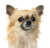 Close-up of Chihuahua, 1.5 years old, looking at camera against white background — Stock Photo