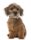 Mixed-breed dog puppy, 3 months old, sitting and looking away against white background — Stock Photo