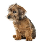 Mixed-breed dog puppy, 3 months old, sitting against white background — Stock Photo