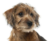 Close-up of Mixed-breed dog puppy, 3 months old, looking away against white background — Stock Photo