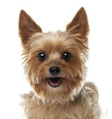 Close-up of Yorkshire Terrier, 9 years old, looking at camera against white background — Stock Photo