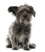 Mixed-breed dog, 3 years old, sitting and looking at camera against white background — Stock Photo