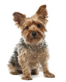 Yorkshire Terrier, 2.5 years old, sitting and looking at camera against white background — Stock Photo
