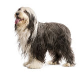 Bearded Collie, 5 years old, standing against white background — Stock Photo