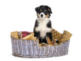 Australian Shepherd, 3 months old, sitting in dog bed against white background — Stock Photo