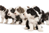 Bearded Collie puppies, 6 weeks old, sitting, standing and looking away. Focus on foreground against white background — Stock Photo