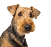Close up of an Airedale Terriers looking at camera against white background — Stock Photo