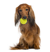 Dachshund, 4 years old, sitting with tennis ball in mouth against white background — Stock Photo