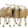 Three Sheep against white background — Stock Photo #21606813