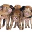 Front view of Three Oxford Sandy and Black piglets, 9 weeks old, against white background — Stock Photo